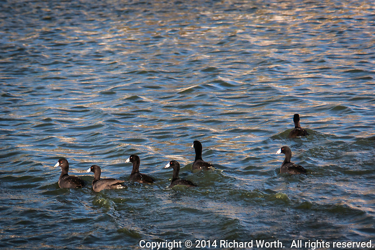 One collective noun for a group of coots is 'codgery' which fits this bunch paddling around the duck pond in the San Lorenzo Park.  Six out of seven make the left turn.  Well, five and a half.