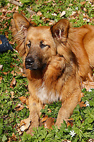 Haushund, Hund, Harzer Fuchs - Mischling, dog, Canis lupus familiaris