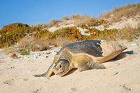 Australian flatback sea turtle, Natator depressus, endemic to Australia and southern New Guinea, female crawls down dune to return to sea after nesting, Australia