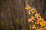 Yellow, orange, and red colors set the branch of a vine maple tree apart from the neutral colored background of the forest at Hart's Pass, Washington State.