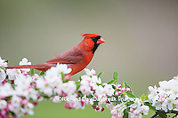 01530-21619 Northern Cardinal (Cardinalis cardinalis) male in Crabapple tree (Malus sp.) in spring Marion Co. IL