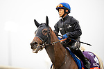 November 1, 2018: Wild Illusion (GB), trained by Charlie Appleby, exercises in preparation for the Breeders' Cup Filly & Mare Turf at Churchill Downs on November 1, 2018 in Louisville, Kentucky. Alex Evers/Eclipse Sportswire/CSM