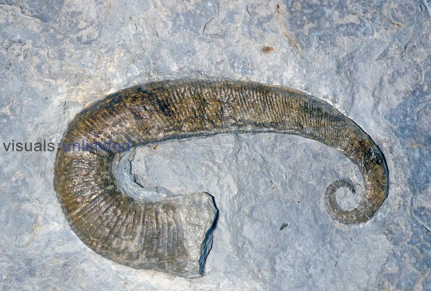 Ammonite fossil (Acriocerus pulcherrimum), Cretaceous Period, 145-85 m.y.a., France.