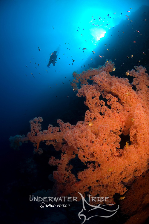 Soft Coral, Dendronephthya sp, and diver, Layang Layang atoll, Sabah, Borneo, Malaysia, South China Sea, Pacific Ocean