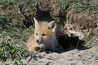 Red Fox Kit lying at the entrance to its den