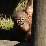 A young orangutan peeks at visitors during the Beastly Brunch at the Houston Zoo Sunday Feb. 28,2010. (Dave Rossman Photo)