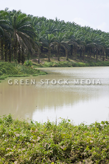 A lake full of rainwater is used for irrigation on the plantation and in the oil mill. Palm trees line its banks. The Sindora Palm Oil Plantation, owned by Kulim, is green certified by the Roundtable on Sustainable Palm Oil (RSPO) for its environmental, economic, and socially sustainable practices. Johor Bahru, Malaysia