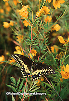Black Swallowtail (Papilio polyxenes) on bur marigold Marion Co.   IL