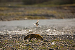 Undeterred by the aggressive tactics of an arctic tern, a cross fox relentlessly searches for eggs along the Kongakut River.