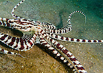 A mimic octopus flattens out while moving rapidly across the sea floor, trying to escape the attention of the divers surrounding it.<br /> <br /> The mimic octopus was not discovered officially until 1998, off the coast of Sulawesi, Indonesia. This is the only octopus known to mimic the appearance and mannerisms other species.  Mimic octopus have been known to imitate more than fifteen different species, including sea snakes, lionfish, flatfish, brittle stars, giant crabs, sea shells, stingrays, flounders, jellyfish, sea anemones, and mantis shrimp.