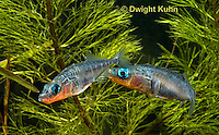1S17-639z Male Threespine Sticklebacks defending territories, Mating colors showing bright red belly and blue eyes,  Gasterosteus aculeatus,  Hotel Lake British Columbia