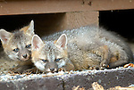 Young fox puppies under porch, Lycoming County, PA