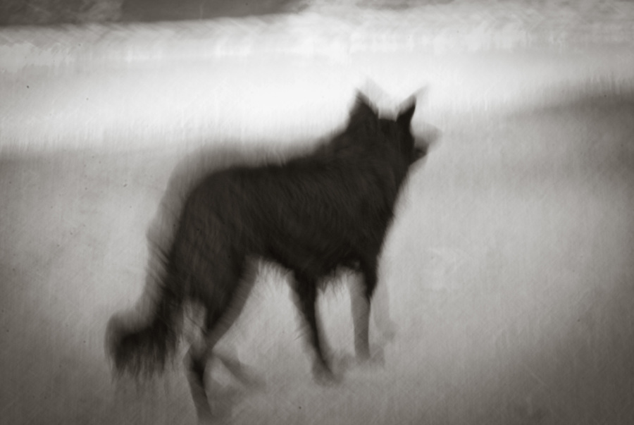 Blurred photo of black wolfdog in an alert stance.