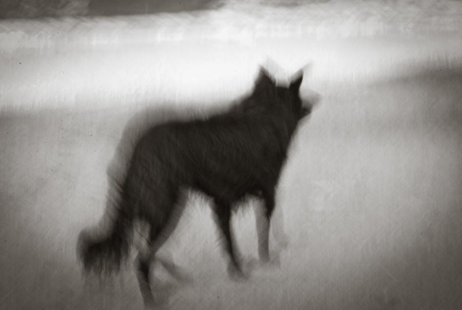 Blurred photo of black wolfdog in an alert stance.