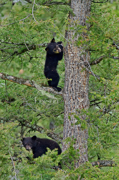 "Wild Black Bear (Ursus americanus) cubs in tree.  Western U.S., spring. (This is what is known as ""coys""--cubs of the year.)"