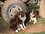 Cow dogs ready to work the day during calf branding and marking with the Busi family at their ranch near Jackson, Calif.