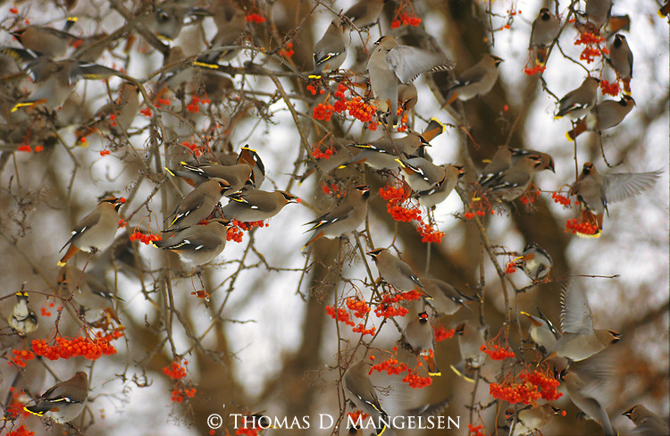 A flock of bohemian waxwings feed on the berries of a mountain ash.