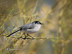Black Tailed Gnatcatcher, Lake Pleasant, Arizona