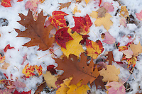 Fall leaves in the snow.