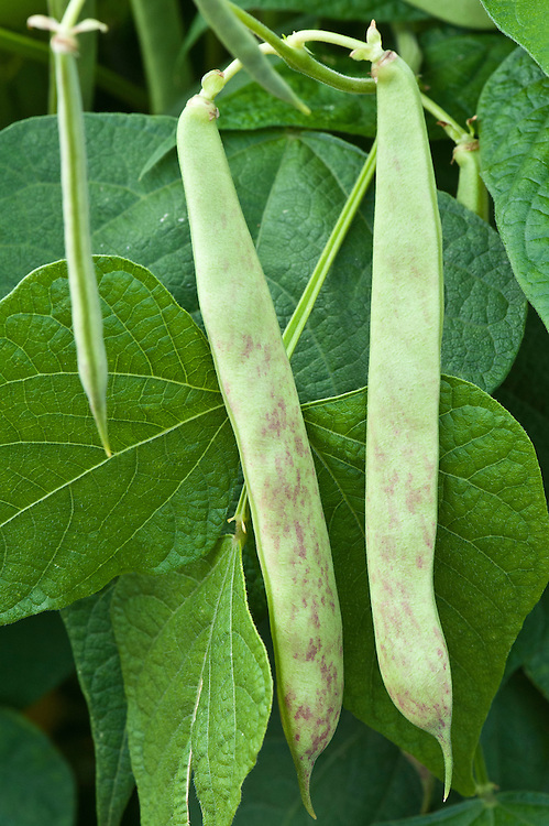 Scarlet-mottled climbing French bean 'Rob Splash', mid August.