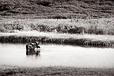 USA, Alaska, moose in lake, Denali National Park (B&W)
