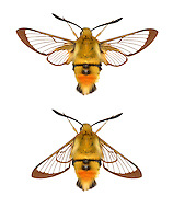 Narrow-bordered Bee Hawk-moth - Hemaris tityus<br /> 69.008 (1982)