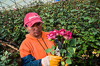 A worker picks the pink roses at a flower farm in Cayambe, Ecuador, 23 June 2010. South American countries (Colombia and Ecuador) are world leaders in cut flower industry. The advantage of the moderate sunny climate, very cheap labor force in combination with the absence of social laws and environmental regulations have created perfect conditions for the cut flower production. Flower growing is very fragile and necessarily depends on irrigation and chemical maintenance, provided by highly toxic pesticides. About 50.000 workers in Ecuador, working mainly for living minimum wage, keep the floral industry going and saturate the market generated by consumerist culture the US, Canada and Europe.