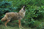 Coyote, Canis latrans, adult female howling, .USA....