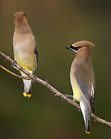 Cedar Waxwings are pale brown on the head and chest fading to soft gray on the wings. The belly is pale yellow, and the tail is gray with a bright yellow tip. The face has a narrow black mask neatly outlined in white. The red waxy tips to the wing feathers are not always easy to see.
