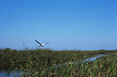Florida, USA. Large white and black bird flying over wetlands of Everglades with large grey bird amongst reeds in foreground.