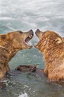 Brown bears play fighting behaviour in the Brooks River, Katmai National Park, Alaska