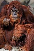 Orangutan; Pongo pygmaeus/Pongo abelii from Borneo
