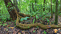 Wild Cashew tree {Anacardium excelsum} with large root snaking above the ground, Corcovado National Park, Osa Peninsula, Costa Rica, May.
