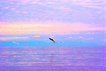 Alaska, Prince William Sound, salmon jumping, high Photoshop saturation,