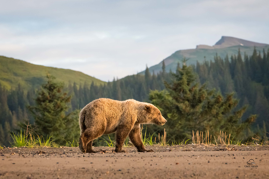 """7:35 am - we head out in the 4-wheeler.  As we rode along the coast of The Cook Inlet, we spotted two smaller bears approaching.  Our guide got us in front of them and we set up.  A pair of cubs - almost 3 years old - walked right past us.  When this individual took """"the high road"""" near the tree line, we ducked down to the shoreline, giving us a cool view from below that included the gorgeous mountains and forest backdrop."""