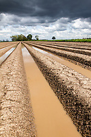 Potato crop flooded following heavy rainfall - Lincolnshire, May