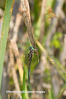 06544-00303 Hine's Emerald dragonfly (Somatochlora hineana) male perched in Barton Fen, Reynolds Co., MO