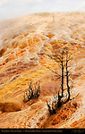Palette Spring, Dead Trees, Mammoth Hot Springs, Yellowstone National Park, Wyoming