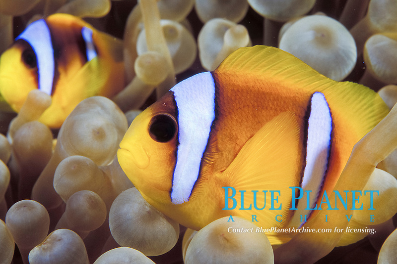 Two-Bar Clownfish, Amphiprion bicinctus, Red Sea, Egypt, Northern Africa