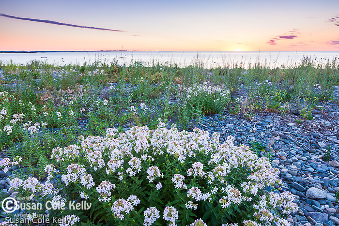 Beach flowers at sunrise, Winthrop, Massachusetts, USA