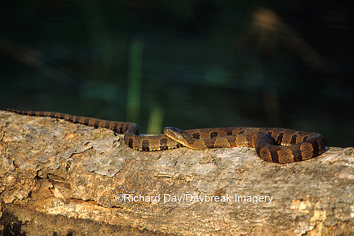 02846-00116 Northern Water Snake (Nerodia sipedon) on log in wetland  Marion Co.  IL