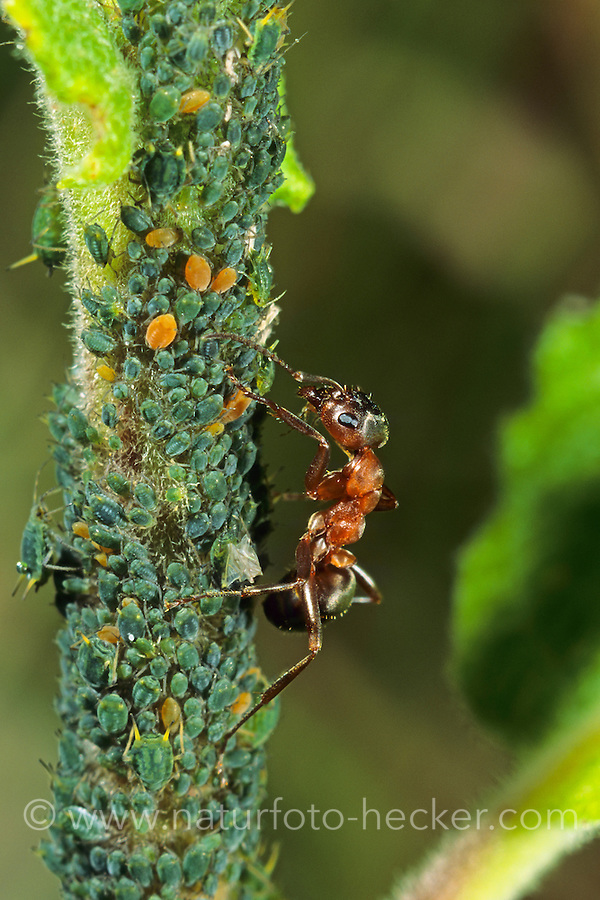 Blutrote Raubameise, Blattlaus-Kolonie, Blattläuse, Symbiose, Blutrote Waldameise, Raubameisen, Waldameisen, Formica sanguinea, Raptiformica sanguinea, blood-red ant, slave-making ant