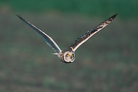 Short-eared Owl (Asio flammeus), adult in flight, Austria