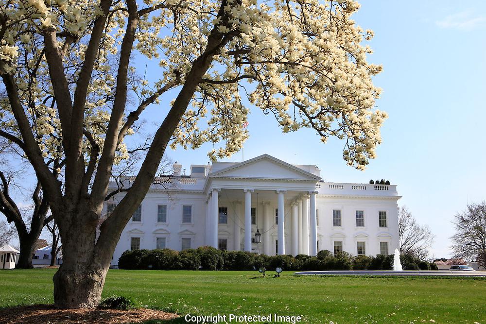 White House Magnolia Trees Dennis Brack