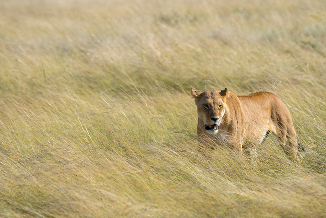 A lioness (Panthera leo) is walking through the high grass in the grassland of the Masai Mara National Reserve in Kenya.