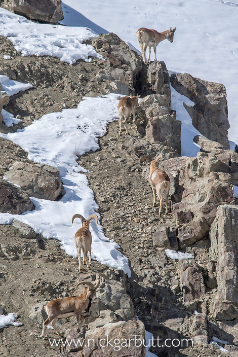 Male and female urial or shapu (Ovis vignei) climbing on sleep barren slopes. Himalayas near Ulley, Ladakh, India.