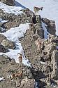 Male and female urial or shapu (Ovis vignei) climbing on sleep barren slopes. Himalayas near Ulley, Ladakh, India.