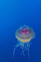 Netrostoma setouchianum, Kronenqualle, Crown jellyfish, Brother Inseln, Kleiner Bruder, Rotes Meer, Ägytpen, Little Brother, Brother Islands, Brothers, Red Sea, Egypt