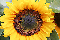 SUNFLOWERS<br /> Helianthus, sp<br /> The sunflower (Helianthus annuus) is an annual plant in the Family Asteraceae, with a large flower head (inflorescence). The stem of the flower can grow up to 3 metres tall with the flower head reaching 30cm in diameter.