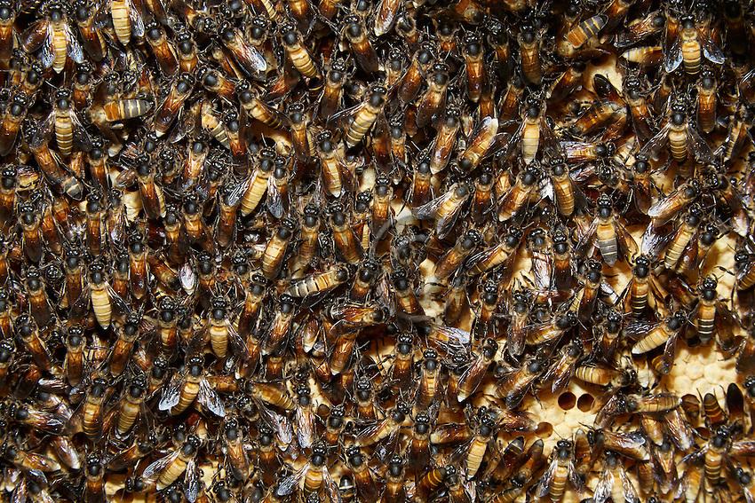 Apis dorsata bees on their brood.///Abeilles d'Apis dorsata sur leur couvain.